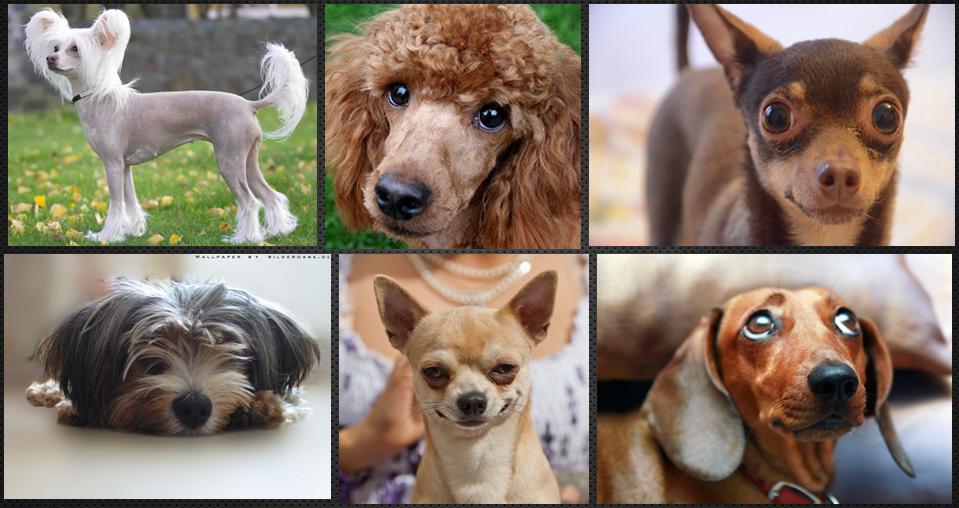 Породы собак предрасположенные к эндокардиозу